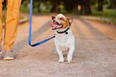 Dobroduszny pies na smyczu patrzeje właściciela odprowadzenie przy parkiem zdjęcie royalty free