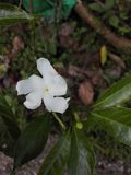 Dobry orkid kwiat dla sri lanki Fotografia Royalty Free