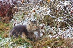 Dobrze camouflaged Norweski lasowy kot Zdjęcia Stock