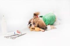 Dobrze przygotowywający Shih-tzu szczeniak w zielonym żakiecie Obraz Royalty Free