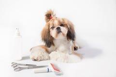 Dobrze przygotowywający Shih-tzu szczeniak - odosobniony Zdjęcia Stock
