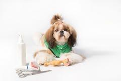 Dobrze przygotowywający Shih-tzu szczeniaka portret Zdjęcie Stock