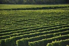 Dobrze utrzymujący vinyard zdjęcia royalty free