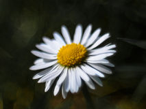 Dobrze zaświecająca stokrotka wewnątrz w pełnym kwiacie II Zdjęcia Royalty Free