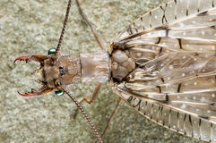 Dobsonfly Royalty Free Stock Images