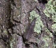 Dobsonfly orientale sulla corteccia coperta lichene Fotografie Stock