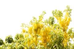 Doccia dorata gialla, isolato del fiore di cassia fistula sul BAC bianco Fotografie Stock