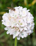 Doce de fruta Hoverfly na flor foto de stock