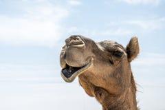Doce engraçado do camelo que olha de sorriso dentro do árabe 5 do salalah de Omã da câmera imagem de stock