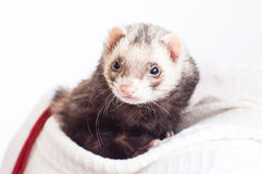Docile ferret as a pet Stock Image