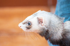 Docile ferret as a pet Stock Photography