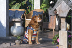 Docile golden retriever dog sitting Royalty Free Stock Photos