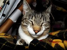 Docile and lazy cat Stock Images