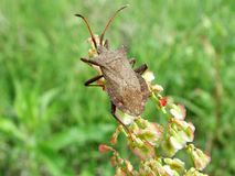 Dock bug Stock Images