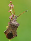 Dock bug. (Coreus marginatus) an a flower stock images