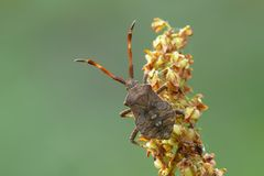 Dock bug Stock Image
