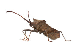 Dock bug, Coreus marginatus Stock Photos
