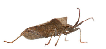 Dock bug, Coreus marginatus Royalty Free Stock Images