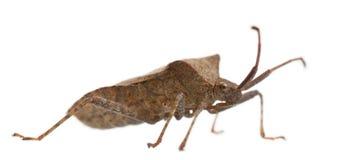 Free Dock Bug, Coreus Marginatus Royalty Free Stock Images - 16563459