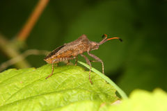 Dock bug (Coreus marginatus) Stock Photography