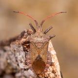 Dock bug (Coreus marginatus) from above Royalty Free Stock Photos