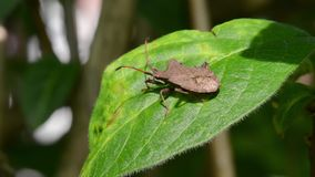 Dock bug (Coreus marginatus) fly away form a leaf stock video footage