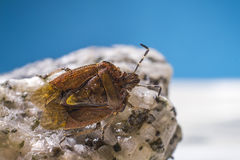 The dock bug (Coreus marginatus) Stock Photography