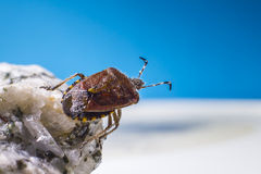 The dock bug (Coreus marginatus) Royalty Free Stock Photography