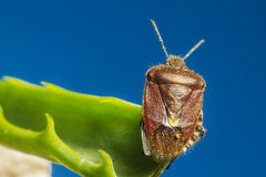 The dock bug (Coreus marginatus) Stock Images