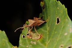 Dock bug (Coreus marginatus) Royalty Free Stock Image
