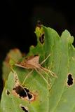 Dock bug (Coreus marginatus) Stock Photography