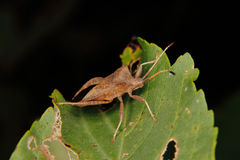 Dock bug (Coreus marginatus) Stock Image