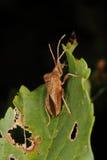 Dock bug (Coreus marginatus) Royalty Free Stock Images