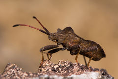 Dock bug (Coreus marginatus) profile from below Royalty Free Stock Photography
