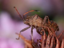 Dock bug in decayed flower. Brown dock bug in decayed flower macro close-up royalty free stock photo