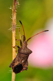 Dock bug in the garden stock photography