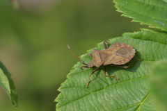 Dock bug Royalty Free Stock Image