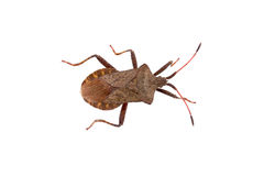 Dock Bug on a white background Royalty Free Stock Photography