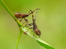 Dock bugs. ' nymphs on grass stock photos