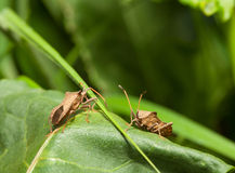Dock bugs on green leaf Royalty Free Stock Image