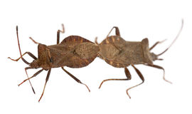 Dock bugs mating, Coreus marginatus Royalty Free Stock Images