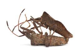 Dock bugs mating, Coreus marginatus Royalty Free Stock Photo