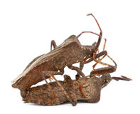 Dock bugs mating, Coreus marginatus Stock Photos