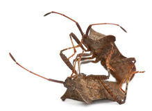 Dock bugs mating, Coreus marginatus Royalty Free Stock Image