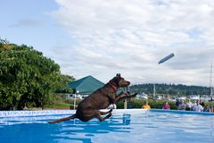 Dock Diving. Black Labrador Retriever dock diving. This is a very new and rapidly growing sport royalty free stock image