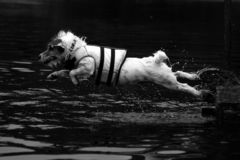 Dock diving jack russell terrior Stock Image
