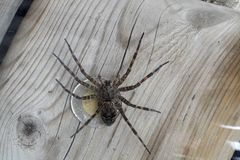 Dock or Fishing Spider - Dolomedes. The Dock spider is commonly found in cottage country throughout Canada and the United States. It belongs to the Pisauridae royalty free stock photos