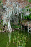 Dock leading into Forest. Wooden dock leading into swamp like forest stock photos