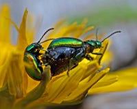 Dock leaf beetle, Gastrophysa viridula mating Stock Photography