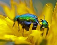 Dock leaf beetle, Gastrophysa viridula mating Royalty Free Stock Photos